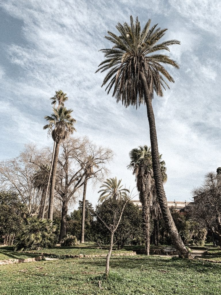 the palm trees in villa aldobrandini in rome